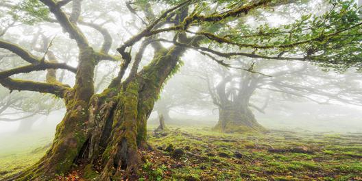Laurel forest in fog, Madeira, Portugal