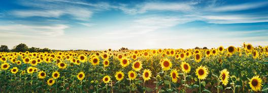 Sunflower field, Plateau Valensole, Provence, France