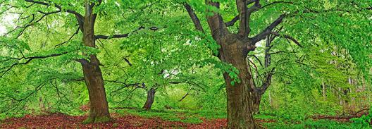 European beech, Kellerwald, Germany